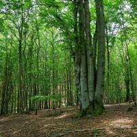 Uprostřed smrkových lesů je najednou malá přírodní rezervace a kopec s názvem Bukovec. Si říkám hmm, Bukovec mezi smrky, proč jako, co to je za blbost? Mno a když tam člověk dojde, tak je to najednou mnohem jasnější :))